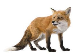 foxonwhite